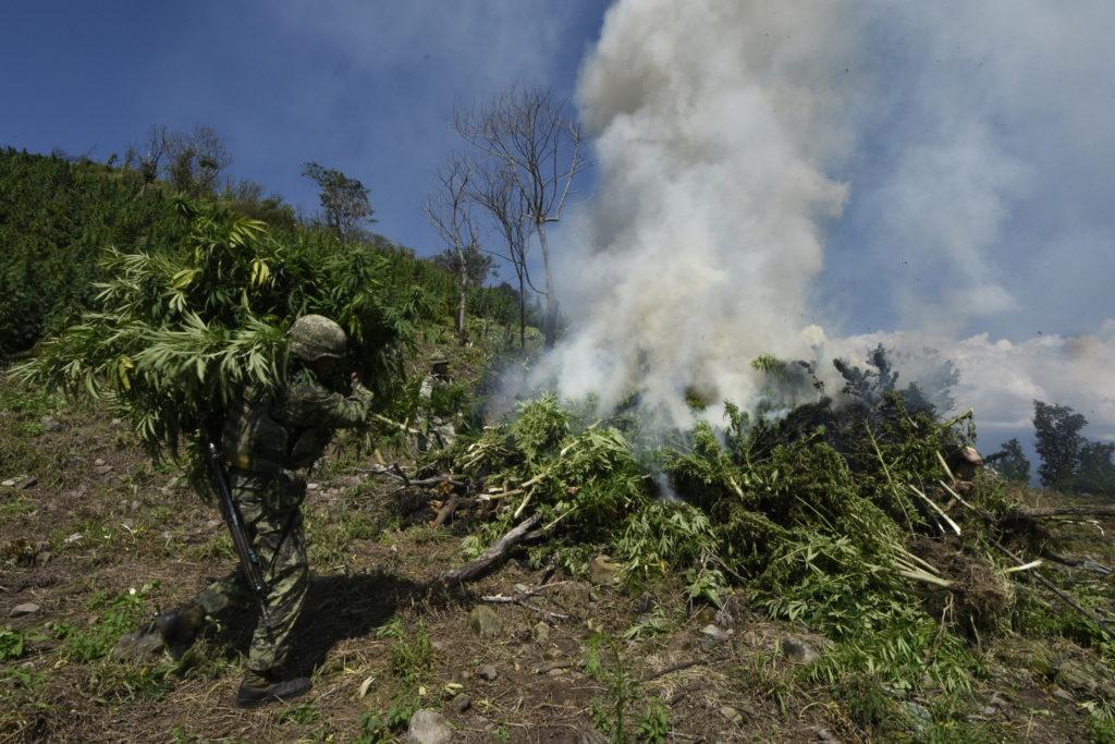 Incinera Sedena plantío de marihuana en Tuzantla