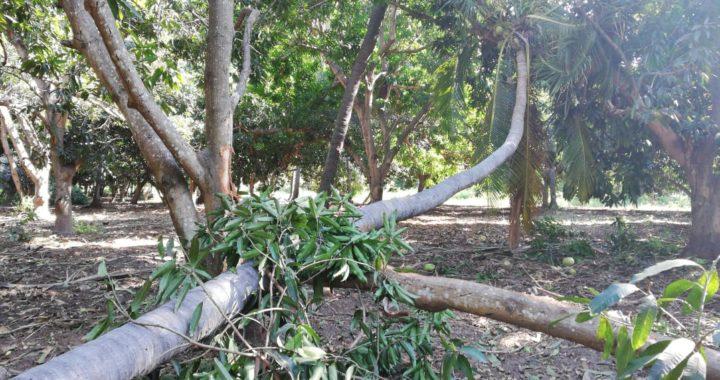 También productores de mango se quejan por afectaciones en Villa Rotaria