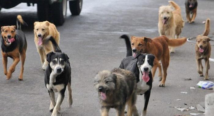 Los mismos morelianos reportan perros en situación de calle; se sacrifica en promedio uno por día