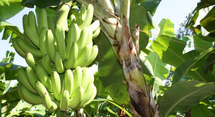 Valor de la producción del plátano michoacano crece más de 100% y rebasa los 677 mdp