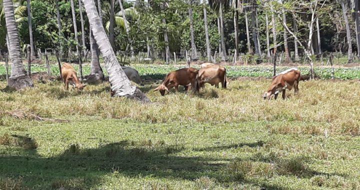 En Tecpan hay baja prevalencia de enfermedades en el ganado, asegura Gerardo Núñez Valdovinos