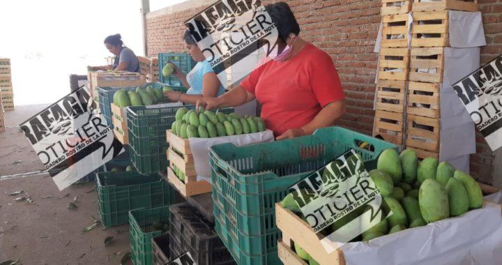 Salen a empacar mangos para el sostén de sus familias pese a la pandemia