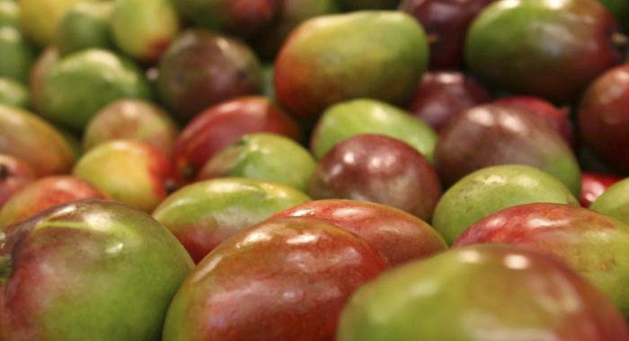Ante dificultad para exportar a EUA, mango michoacano se venderá en Holanda y Alemania
