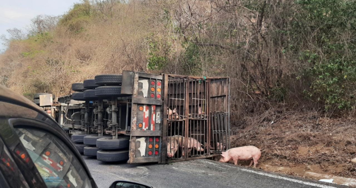 Vuelca camión cargado con cerdos en el municipio de Petatlán